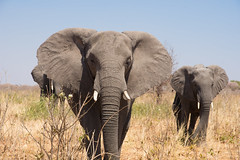die sanften Riesen (100er) Tags: elefant chobe elephant afrika nikon 100er d7200