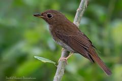 Brown-chested jungle flycatcher (My Shutter World) Tags: flycatcher birds birdphotography