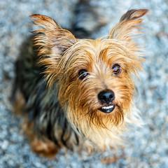 Yoko13Oct201837.jpg (fredstrobel) Tags: dogs pawsatanta atlanta usa animals ga pets places pawsdogs decatur georgia unitedstates us