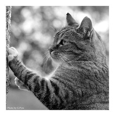 Playful Puss (Graham Pym On/Off) Tags: cat feline nikon blackandwhite bokeh d7100 garden coth coth5