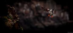 Puffin (Melissa M McCarthy) Tags: atlanticpuffin puffin bird seabird waterbird animal nature wildlife outdoor inflight flying bif cute brown neutral newfoundland canada canon7dmarkii canon100400isii