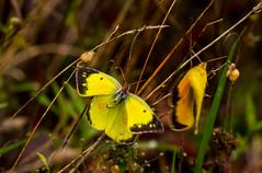 7K8A7582 (rpealit) Tags: scenery wildlife nature weldon brook management area orange sulphur butterfly