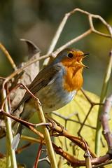 Robin attitude 2 (Elisabeth Lys) Tags: sigma 150600mm robin rougegorge d7200 nikon birds oiseau