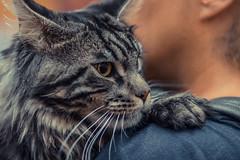 Cat Maine Coon (Eleonora Cacciari) Tags: eleonoracacciari eleonoracacciariphoto eleonoracacciarisshot canon canoneos80d 85mm mainecoon micio gatto cat gattino pelosino baffi felino nasino pievedicento