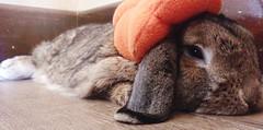 Modeling is hawd wowk. I'm pooped. (markdavidsmom) Tags: silly orange pumpkinpatch october lop hollandlop petcostume halloweencostume halloween love flop beret hat pumpkin costume autumn fall pet rabbit bunny
