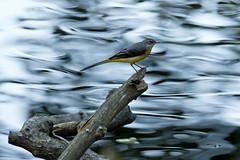 Gebirgsstelze (Motacilla cinerea) (kalakeli) Tags: gebirgsstelze motacillacinerea bergstelze greywagtail birds vögel rur flüsse rivers wasser water