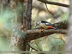 Himalayan Woodpecker (Dendrocopos himalayensis) (gilgit2) Tags: avifauna birds canon canoneos7dmarkii category fauna feathers geotagged gilgit gilgitbaltistan himalayanwoodpeckerdendrocoposhimalayensis imranshah location naltar pakistan species tags tamron tamronsp150600mmf563divcusd wildlife wings gilgit2 dendrocoposhimalayensis