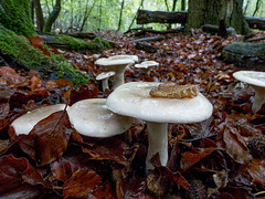 Group of fungi (Chalto!) Tags: franchiseslodge rspb wiltshire newforest mushroom fungus fungi toadstool