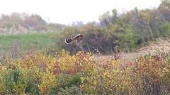 northern harrier (quadceratops) Tags: massachusetts nature plum island parker river national wildlife refuge prnwr northern harrier
