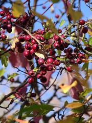 Rote Beeren (Thomas230660) Tags: sonne herbst flora sony arnstadt wanderung landschaft landscape bäume thüringen trees blätter