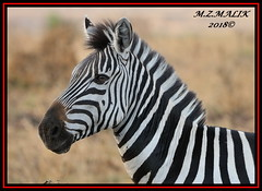 COMMON ZEBRA (Equus burchelli).....MASAI MARA......SEPT 2018 (M Z Malik) Tags: nikon d3x 200400mm14afs kenya africa safari wildlife masaimara keekoroklodge exoticafricanwildlife zebras ngc npc