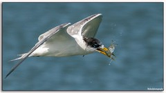 Crested Tern (Mykel46) Tags: wildlife outdoors outside water 14xtele 100400mm a9 sony fish flight nature birds bif crestedtern
