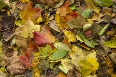 fall 2018-13 (kelsey.hurm) Tags: indiana fall whiteriver nature macro leaves