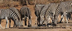 Open Pub - Only Water Served  ( Zebra ) (Pixi2011) Tags: zebra wildlife krugernationalpark africa animals nature