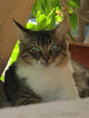 Cat's eyes (pefkosmad) Tags: cat feline puss pefkoi pefkos rhodes rodos greece greekislands griechenland hellas dodecanese native chat gatto eyes tabby animal nationalcatday pussy face ears fur