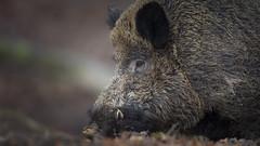Wild Boar / Wildschwein (www.natureinimages.com) Tags: wild boar wildschwein wald wood