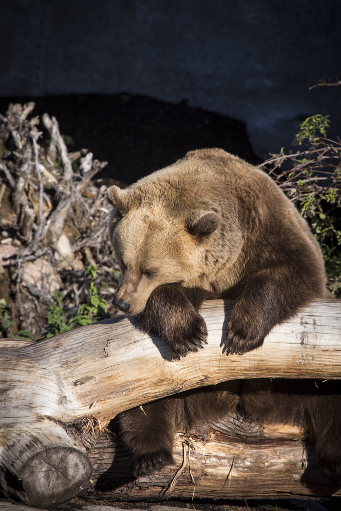 myymälä pikatoimitus premium valinta The World's Best Photos of karhu and ruskeakarhu - Flickr ...