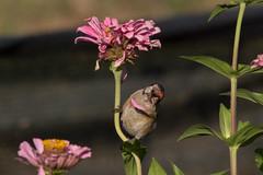 Falling Petals (DanielaC173) Tags: bird goldfinch cardueliscarduelis carduelis pintassilgo zinnia flower seeds feeding ave