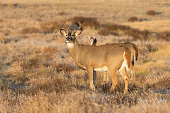 White-tailed Deer buck making faces