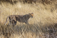 Cheetah II (cd.delaruelle) Tags: etosha guépard namibia namibie namutoni oshikotoregion cheetah canon eos 5dmarkiii