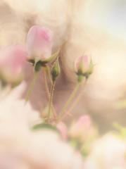 pink roses (Tomo M) Tags: rose pink bokeh soft pastel light dreamy 横浜イングリッシュガーデン garden outdoor bud trioplan