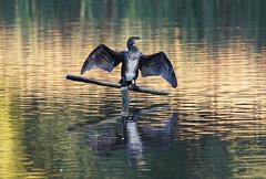 DSC07239A (simonbalk523) Tags: cormorant birds wildlife warnham nature reserve sony photography tamron