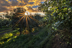 Orchard Sunrise (Getty listed) (Alan10eden) Tags: orchard apple bramley richhill armagh countyarmagh ulster northernireland loughgall fruit trees windfalls sunrise morning harvest picking season applepulling autumn topfruit horticulture grow grower sunburst light daybreak early alanhopps canon 80d sigma 1770mm