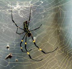 DancingSpidey (mehtab94) Tags: nature spider spiders summer fall wildlife natgeo scary halloween insect web cobweb colors garden