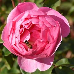 Rose, Kew Gardens (rq uk) Tags: rquk nikon d750 kewgardens nikond750 afsnikkor70200mmf28efledvr rose bee pink