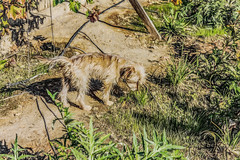 Attention Grabber (davidseibold) Tags: america artichoke backyard bakersfield california cooperthedog dog garden grape jfflickr kerncounty pet photosbydavid plant platoct postedonflickr unitedstates usa