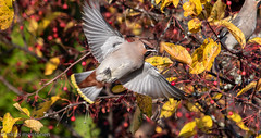 A Warm and sunny Sunday (aixcracker) Tags: bohemianwaxwing tilhi sidensvans bird fågel lintu october oktober lokakuu autumn höst syksy borgå finland porvoo suomi nikond500