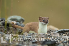 Short-tailed Weasel Tekiela TEK5409 (Stan Tekiela's Nature Smart Wildlife Images) Tags: allrightsreserved authornaturalistwildlifephotographer mammals vertebrates vertibrate mammalia fur hair terrestrial land animal naturesmartimagesbystantekiela shorttailedweaselmustelaerminea stantekiela copyright allrightsreservered stockimage professionalphotographer images wildlife animals nature naturalist wild stockphotos digitalimages critter stockimages