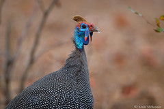 Helmeted Guineafowl (leendert3) Tags: leonmolenaar southafrica krugernationalpark wildlife nature birds helmetedguineafowl ngc npc coth5