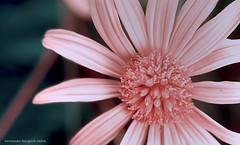 plenitud (ojoadicto) Tags: flor flower nature pink suril detalle macro naturaleza rosada
