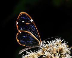 Mariposa de cristal (Greta diaphanus quisqueya) (Francisco Alba Suriel) Tags: ngc mariposa cristal greta diaphanus quisqueya nymphalidae dominicana laespañola cordillera central insecto lepidoptera