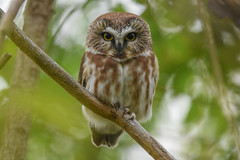 Northern Saw-Whet Owl (aj4095) Tags: saw whet owl nature wildlife ontario canada outdoor tree fall