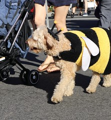 Dogs on Halloween Parade (Webfoot5) Tags: dog dogs dogsonwalks dogzonwalkz labradoodles