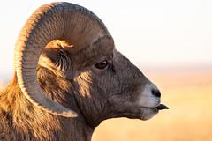 Silly Sheep ((JAndersen)) Tags: ram bighornsheep sheep badlands badlandsnationalpark southdakota usa animal wildlife nature portrait nikon nikkor20005000mmf56 d810