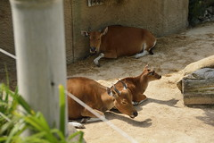 Chester Zoo Islands (132) (rs1979) Tags: chesterzoo zoo chester islands banteng