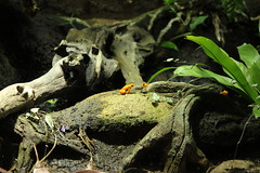 IMG_3548 (Holly_12) Tags: animal rock frog goldenfrog golden froggylovers truelove leaf tree wood chester zoo chesterzoo