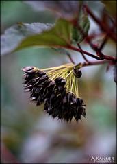 Garden Flower... (angelakanner) Tags: canon70d lensbaby twist60 composerpro fal colors garden longisland closeup bokeh