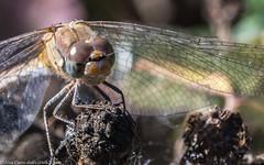 0T4A9840 (2) (Alinbidford) Tags: alancurtis brandonmarsh dragonfly nature wildlife