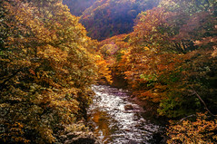Golden Valley (moaan) Tags: mustu aomori japan jp kawauchigawavalley autumn autumnvalley river stream woods forest autumncolors fall fallcolors change growth travel travelphotography travegram travelogue landscape landscapephotography nature naturephotography utata 2018