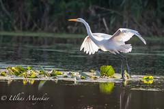 Great Egret (mayekarulhas) Tags: johnheinznaturereserve egret egrets bird avian wildlife wild philadelphia pennsylvania tinicum canon canon500mm canon1dxmark2