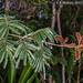 2015-02-21 TEC-0280 Calliandra houstoniana - E.P. Mallory