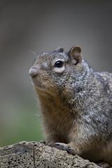 Common Rock Squirrel (Otospermophilus variegatus) (kevinvarzoos) Tags: rotterdam zoo diergaarde blijdorp rock squirrel