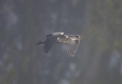 Grey Heron Lakenheath Fen RSPB (seandarcy2) Tags: heron grey birds wildlife suffolk uk bif handheld