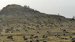 Derniers rayons de soleil (François Magne) Tags: berger bergère pastoraloup brebis alpage estive transhumance loup couchade paysage alpes provence chien protection fz 300 lumix rayon soleil coucher troupeau