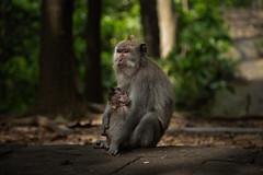 ubud - sacred monkey forest (Pietro Luzzati) Tags: sacred monkey bali ubud indonesia animal nature asia