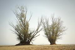 Trees by the lake (Marek vono) Tags: drzewo drzewa jezioro turawa piasek woda mgła poranek tree trees lake sand water fog morning